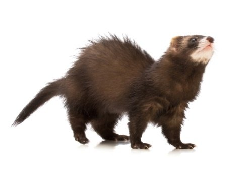 100 most popular ferret names we re all about pets