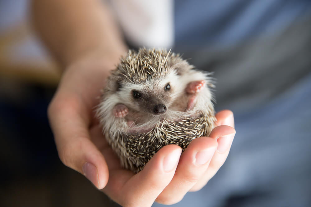 boy Hedgehog