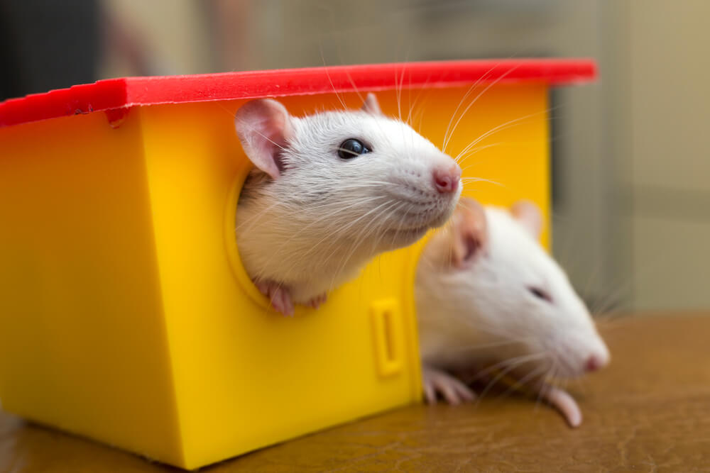 funny pet rat names