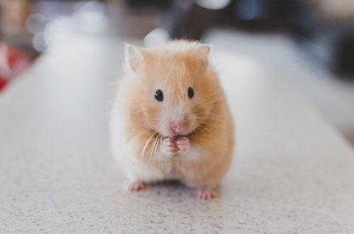 100 Most Popular Girl Hamster Names - We're All About Pets