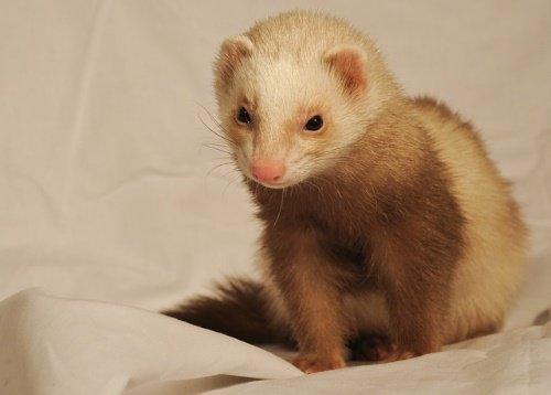 ferret bedding