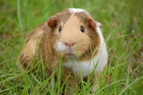guinea-pig-242520_640