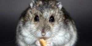hamster-1772742_640
