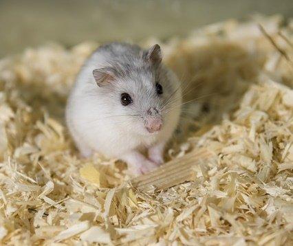 hamsters bedding