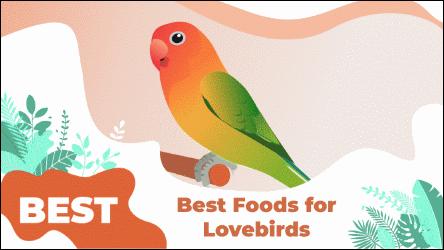LOVEBIRDS Food