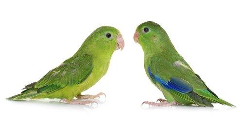 Parrotlets food