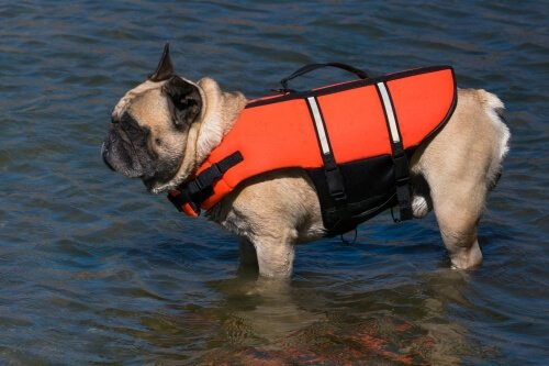French_bulldog_in_life_jacket