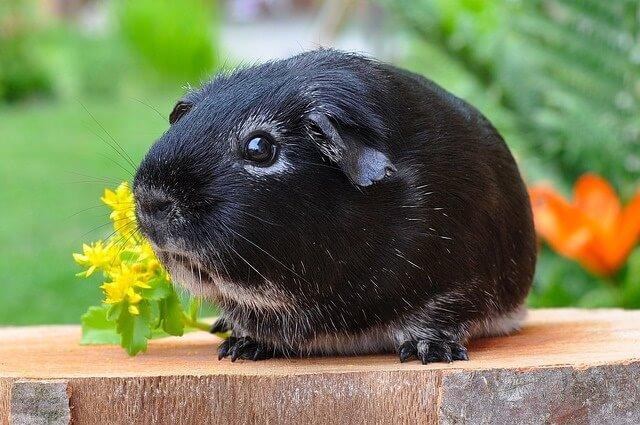 guinea-pig-