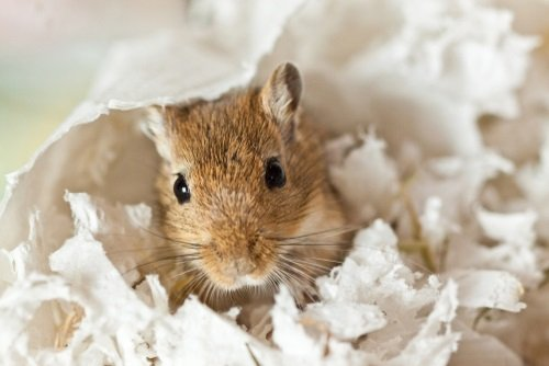 Bedding for Gerbils