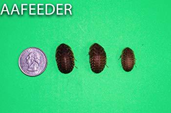 Dubai Roaches (100 Large)