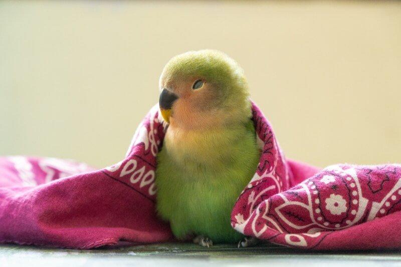 Baby Lovebird Names