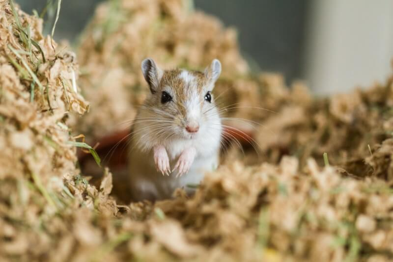 Cute Female Names for Gerbils