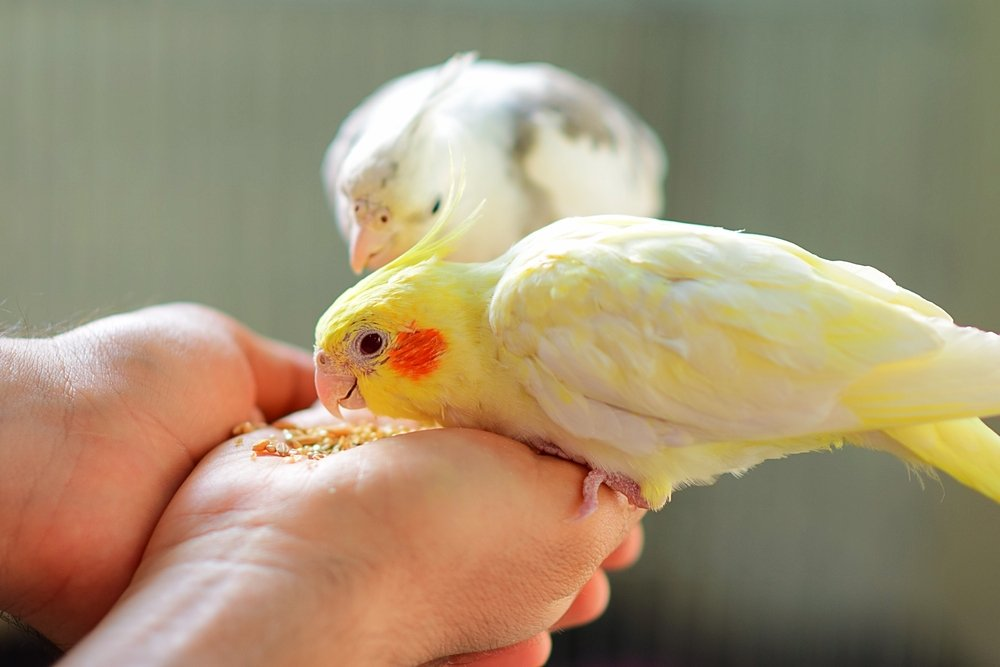 140 Cute And Adorable Cockatiel Names With Meanings We Re All About Pets