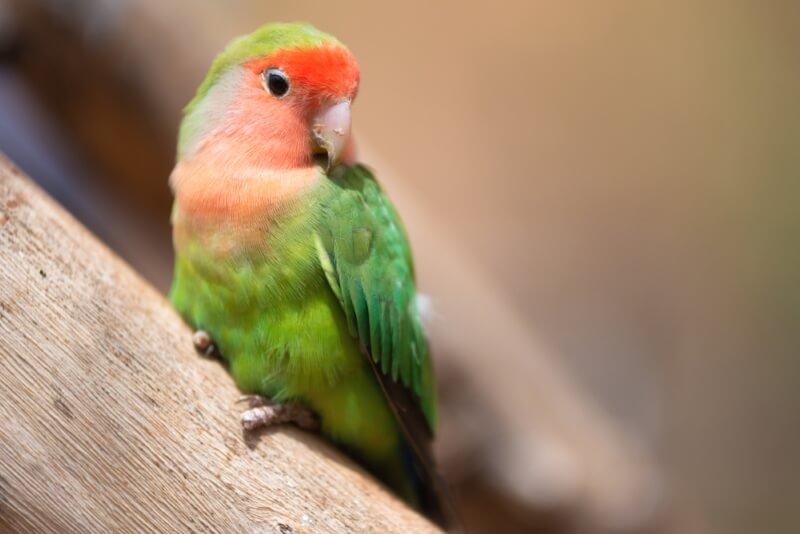 Female lovebird Names