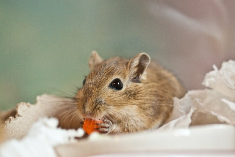 Gerbil Cute Male Names