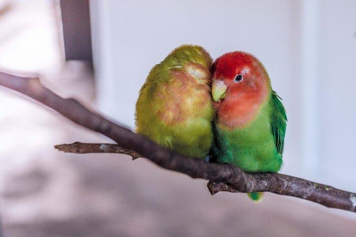 Lovebird names