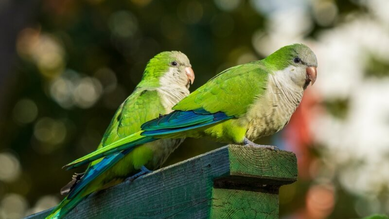 male parakeet names