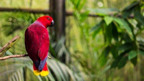 red female birds