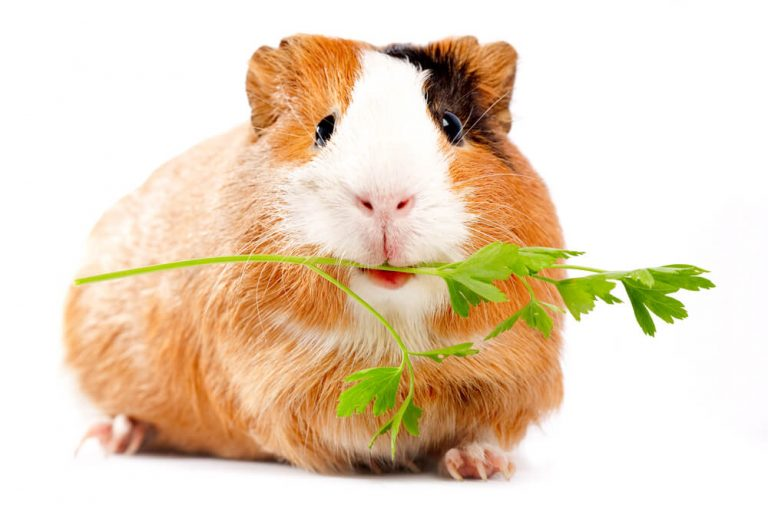 What Do Guinea Pigs Eat