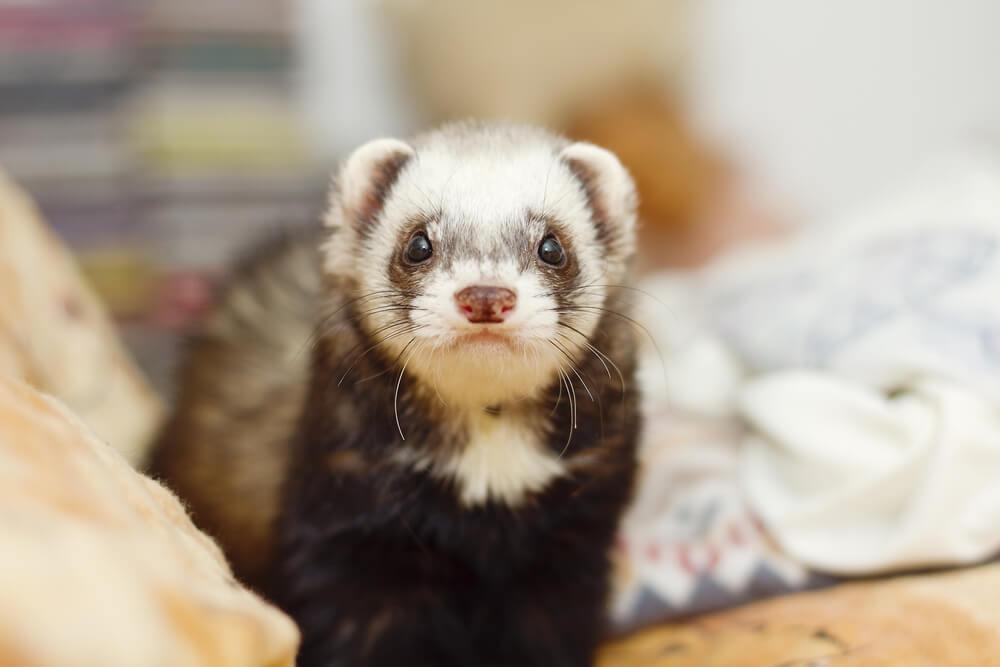 baby boy ferret names