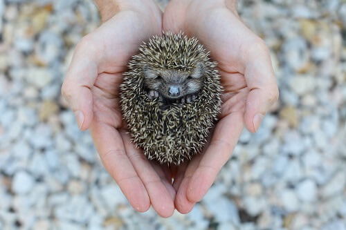 female hedgehogs