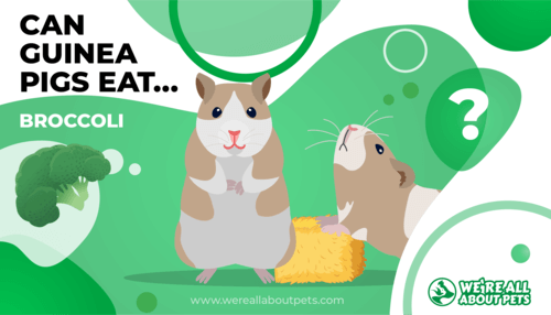 Can Guinea Pigs Eat Broccoli?
