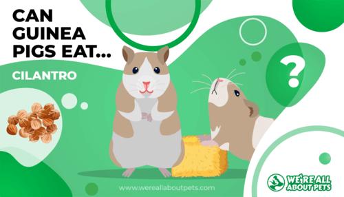 Can Guinea Pigs Eat Cilantro?