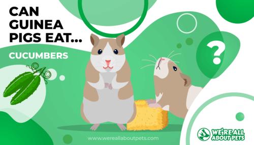 Can Guinea Pigs Eat Cucumber?