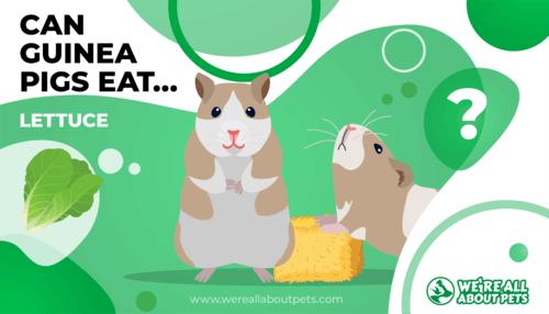 Can Guinea Pigs Eat Lettuce?