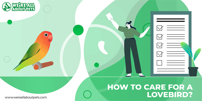 How To Care For A Lovebird