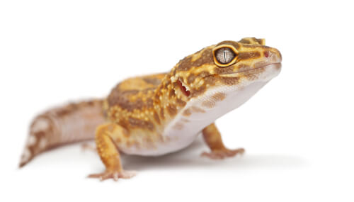 12 Adorable Types Of Leopard Geckos That Make Great Pets We Re All About Pets
