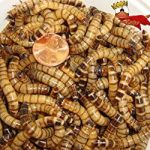 Gimminy Crickets & Worms Live Superworms