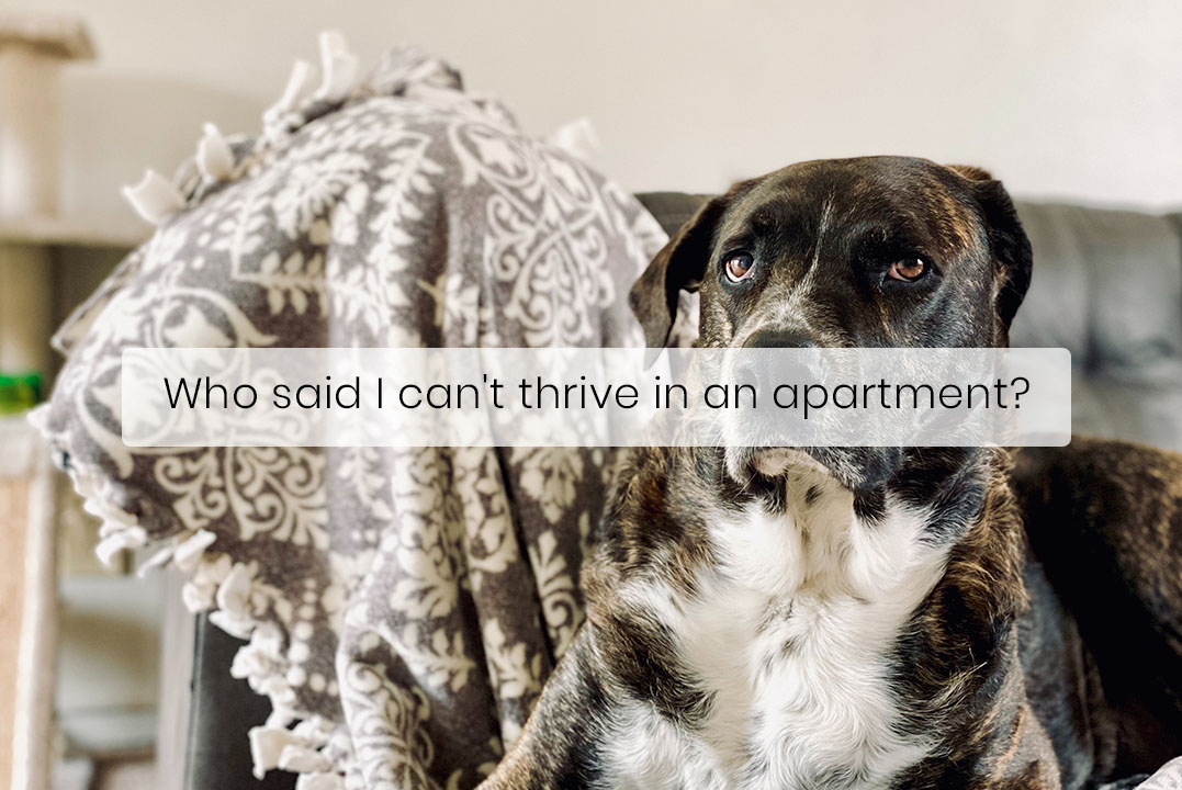 Large Dogs Also Make Great Apartment Dogs