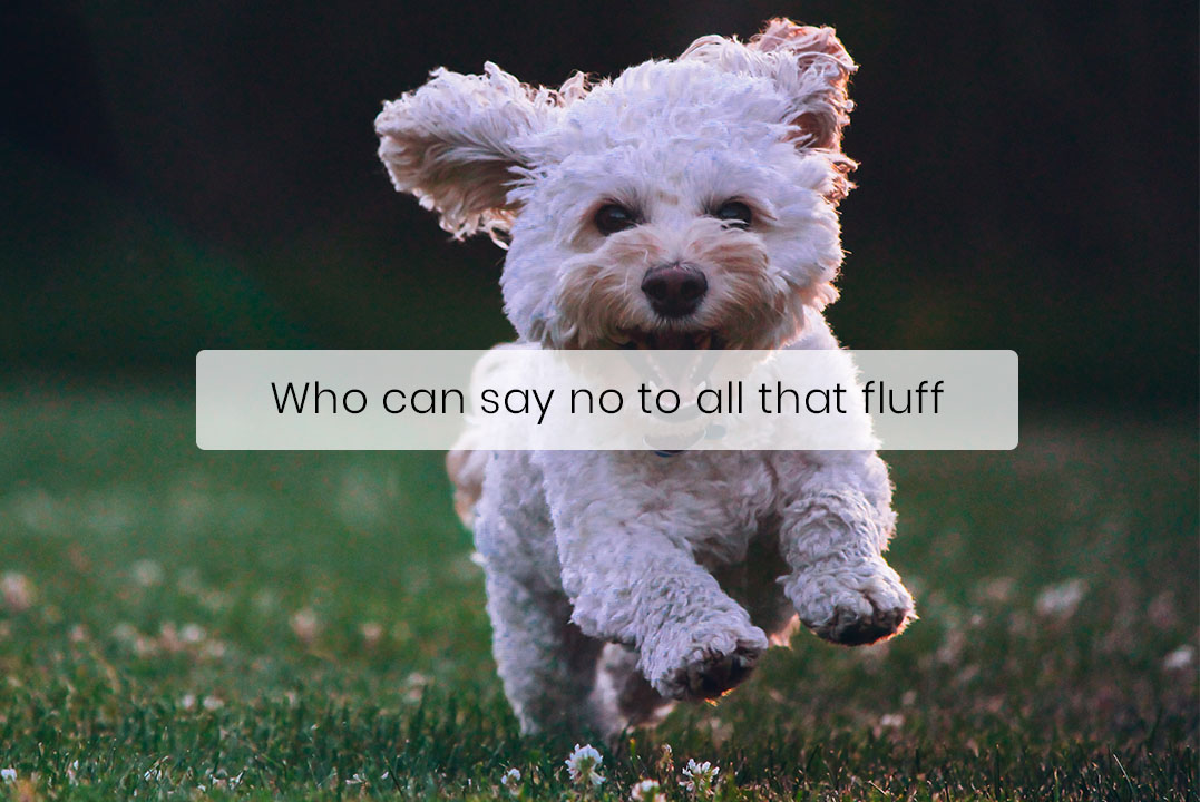 You Don't Have To Sacrifice Fluffy Cuteness to Get a Hypoallergenic Dog