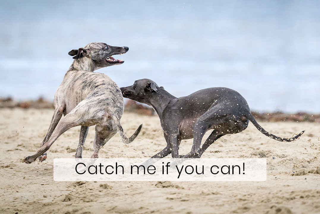 Greyhounds are the Fastest Dogs Known