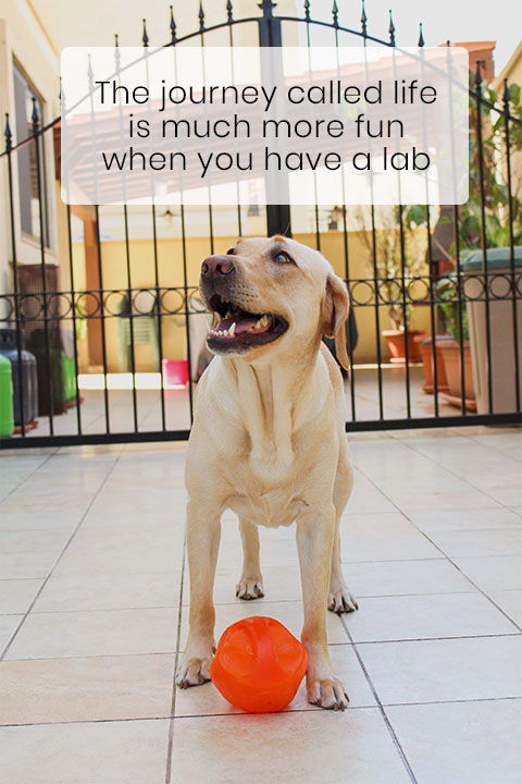 Labrador Retrievers Are the Most Popular Dog Breed in the US