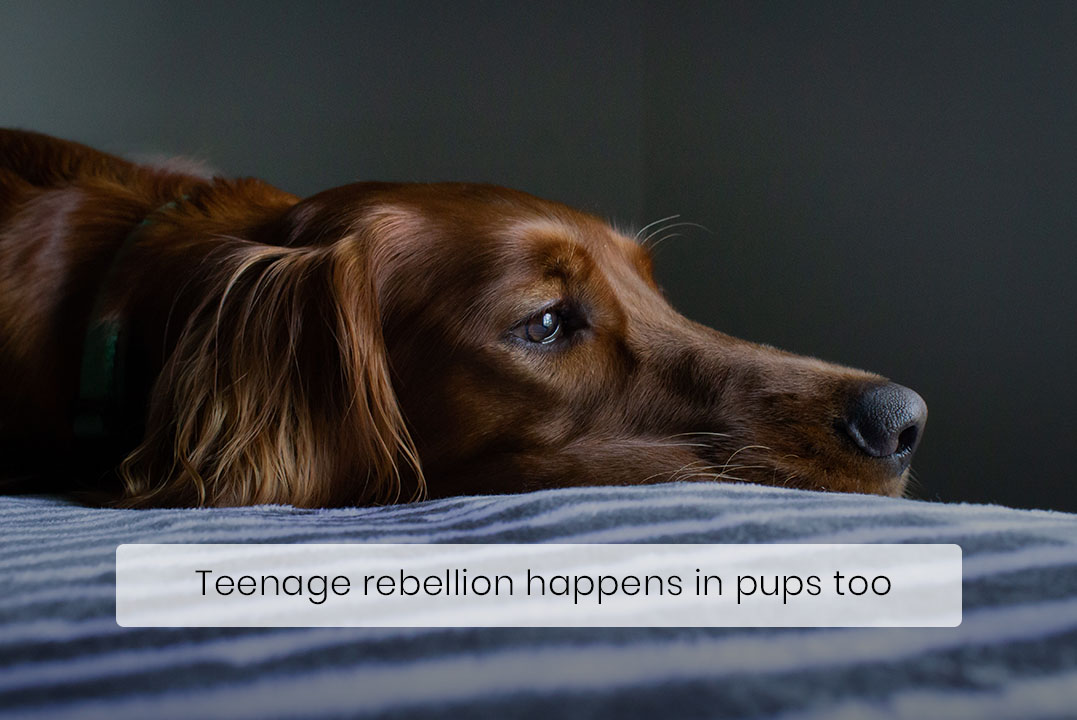 Just Like Humans, Dogs Rebel during Their Adolescent Years