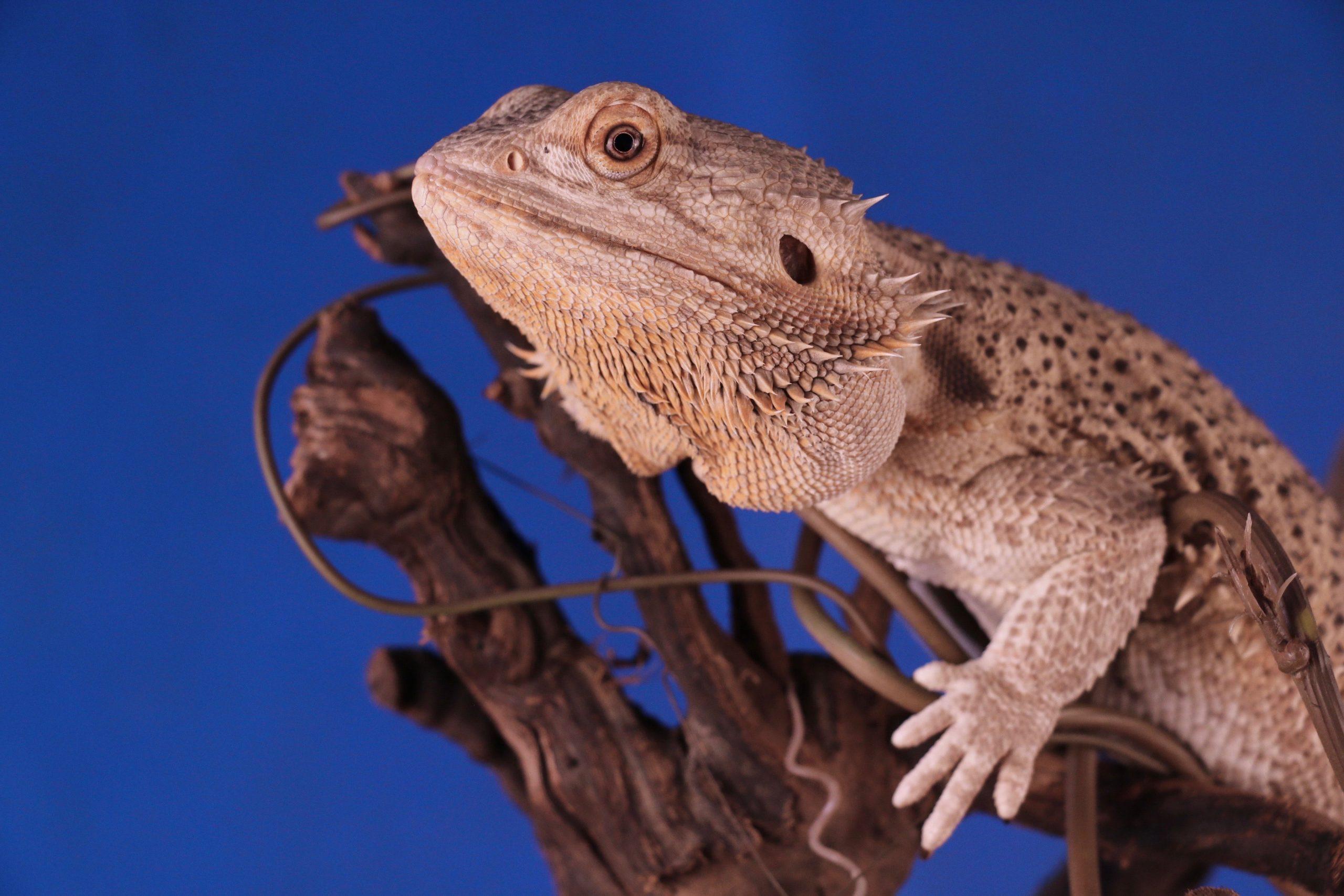 bearded dragon behaviors