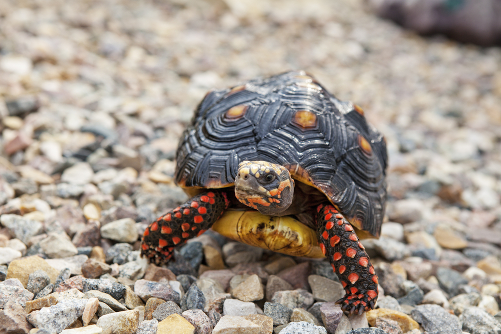 red footed tortoise full care guide by a vet