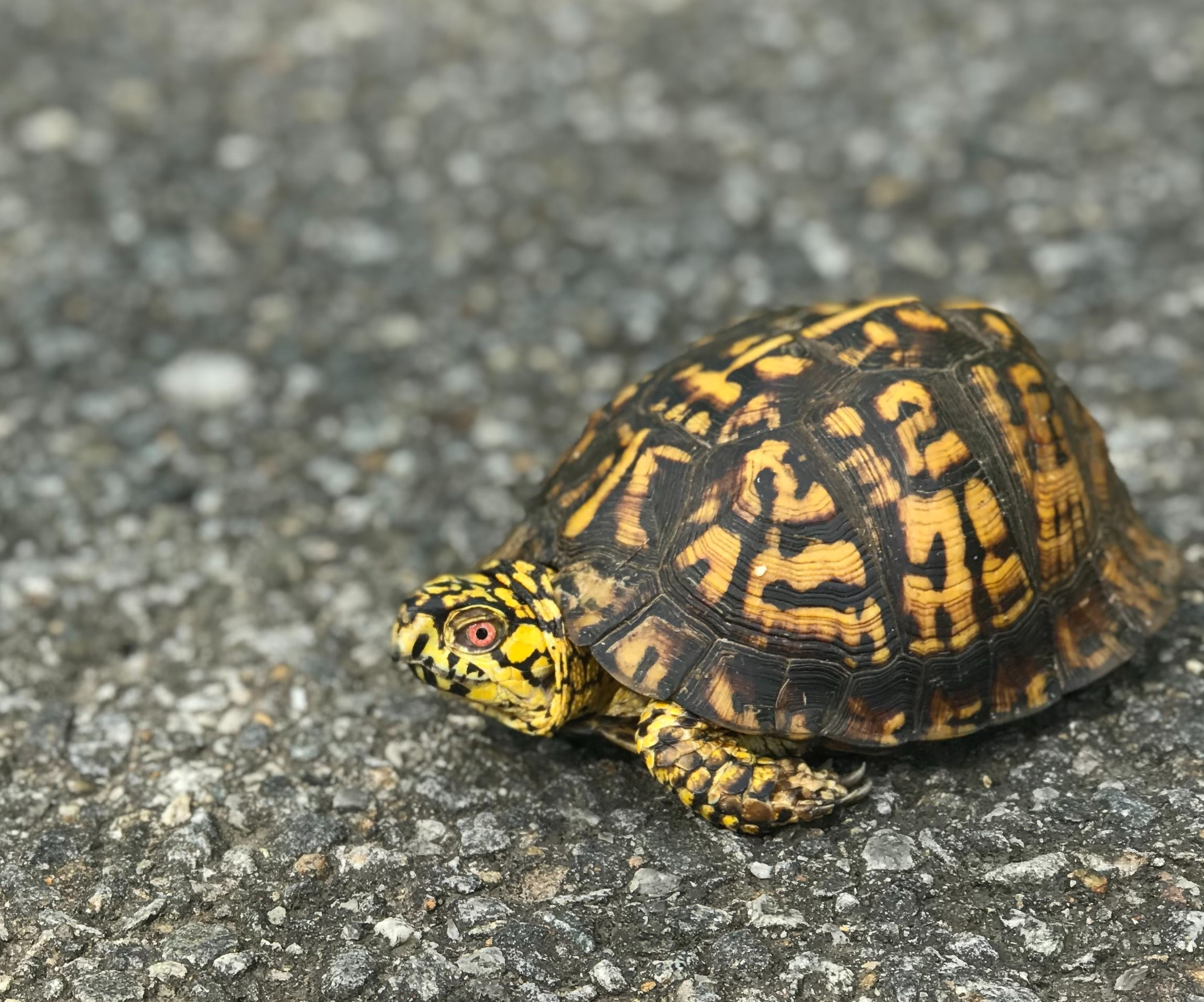 a guide to caring for a box turtle