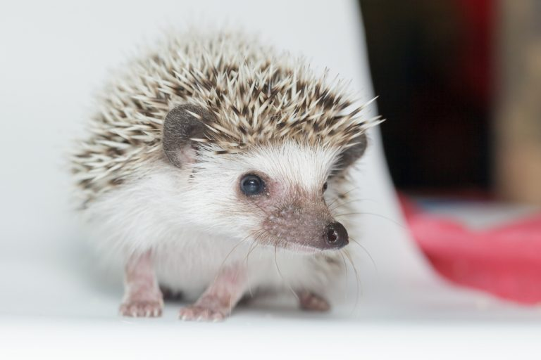 African Pygmy Hedgehog as a pet