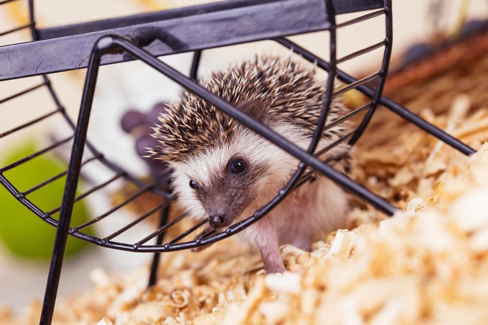 African Pygmy Hedgehog housing